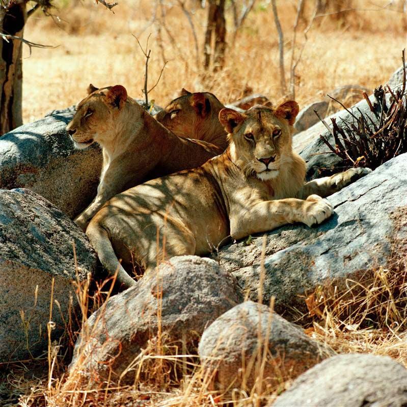 Lion in Ruaha National Park