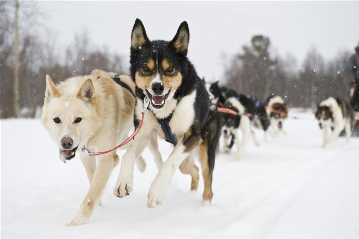Chiens de traineau - Finnmark - Norvège